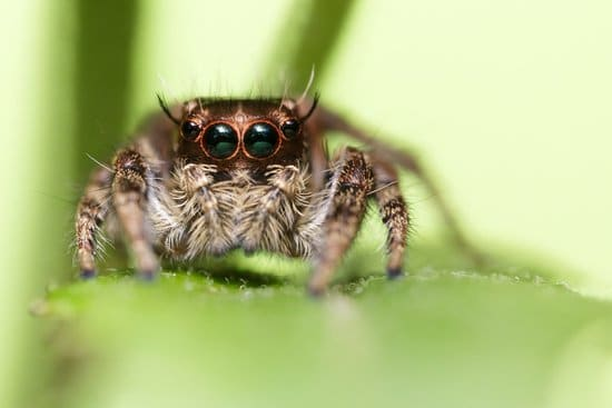 How Many Eyes Does a Spider Have