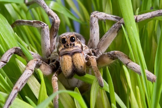 Eyes of Wolf Spiders