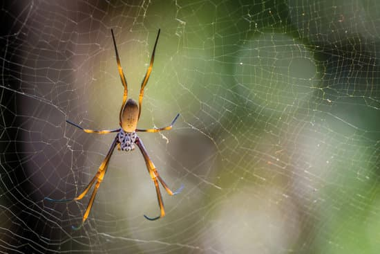 Cool Facts About Banana or Golden Orb Spiders