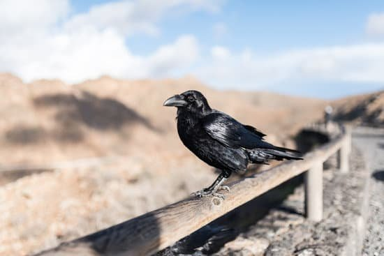 Ravens vs. Crows: A Tale of Two Species